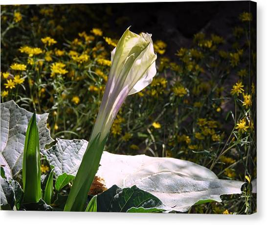 Canvas Print featuring the photograph Awakening - Sacred Datura by Judy Kennedy