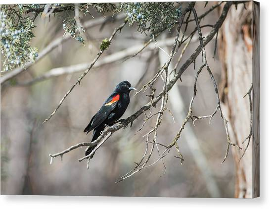 Canvas Print featuring the photograph B26 by Joshua Able's Wildlife