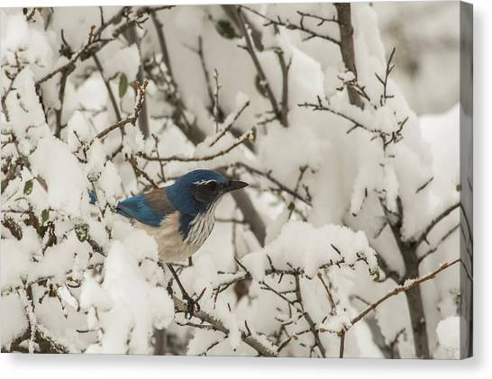 Canvas Print featuring the photograph B44 by Joshua Able's Wildlife