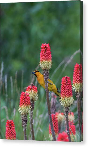 Canvas Print featuring the photograph B56 by Joshua Able's Wildlife