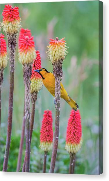 Canvas Print featuring the photograph B59 by Joshua Able's Wildlife