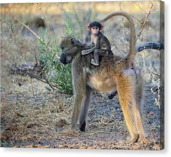 Baboon And Baby Canvas Print