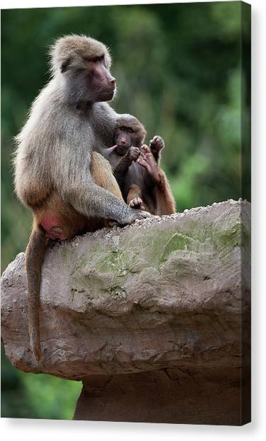 Baboon Canvas Print by Andrew Dernie