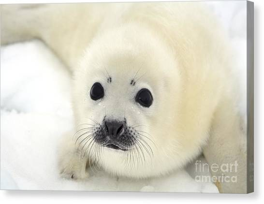 Baby Harp Seal Pup On Ice Of The White Canvas Print by Vladimir Melnik