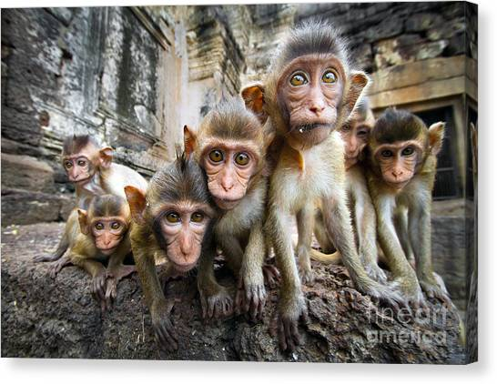 Baby Monkeys Are Curious,lopburi Canvas Print by Jeep2499