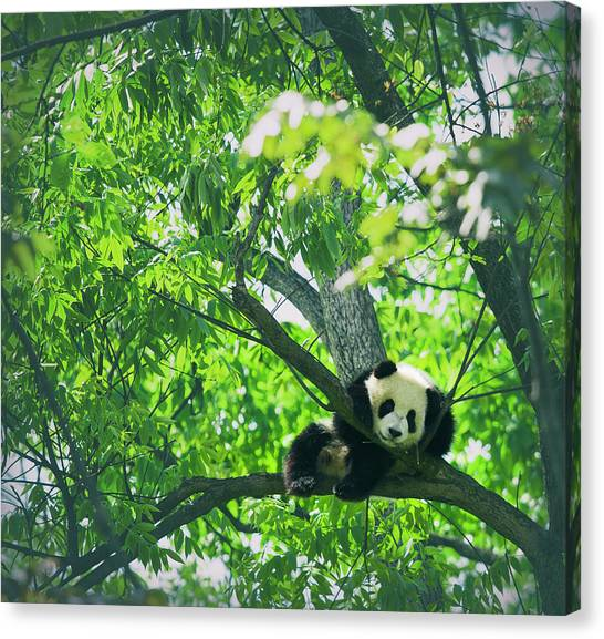 Baby Panda Resting On A Tree Canvas Print by Mediaproduction
