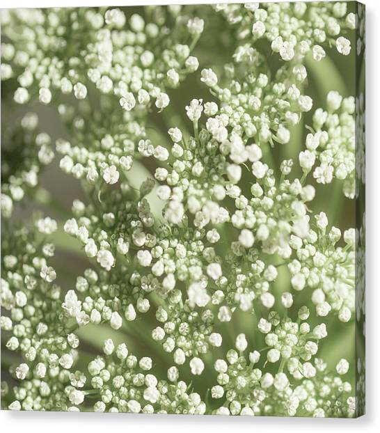 Babys Breath 1308 Canvas Print
