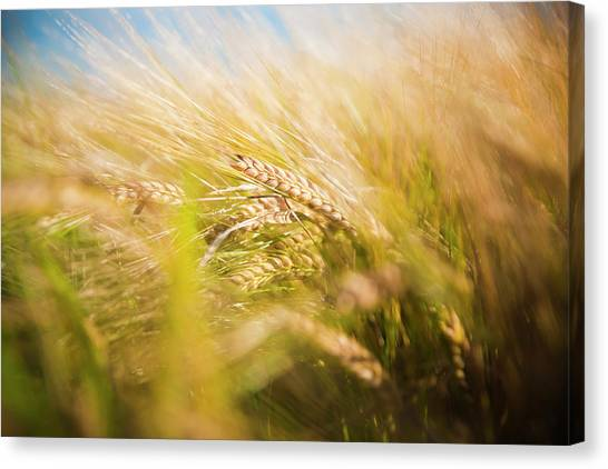 Background Of Ears Of Wheat In A Sunny Field. Canvas Print