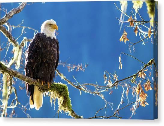 Backlit Bald Eagle In Squamish Canvas Print