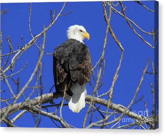 Bald Eagle And Blue Sky Canvas Print