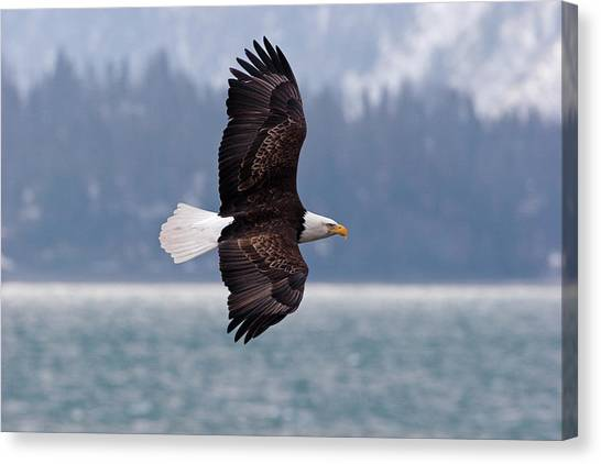 Bald Eagle In Action Canvas Print by Mark Miller Photos