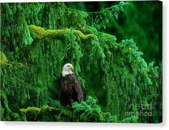 Bald Eagle In Temperate Rainforest Alaska Endangered Species Canvas Print