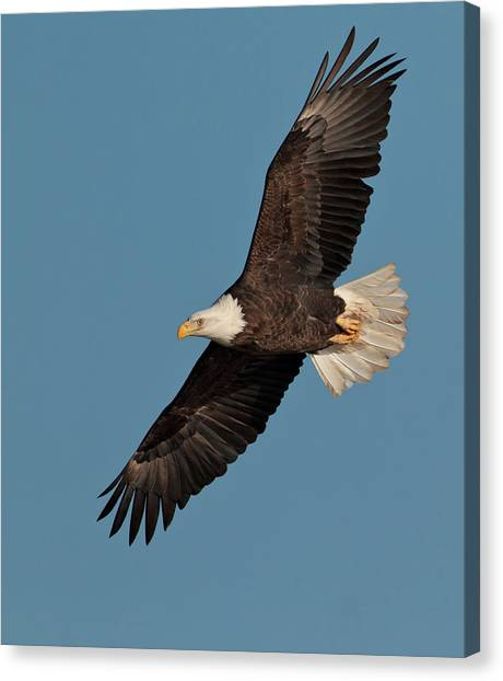 Bald Eagle Canvas Print by Straublund Photography