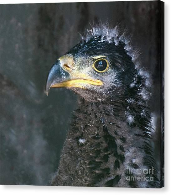 Bald Eaglet Canvas Print