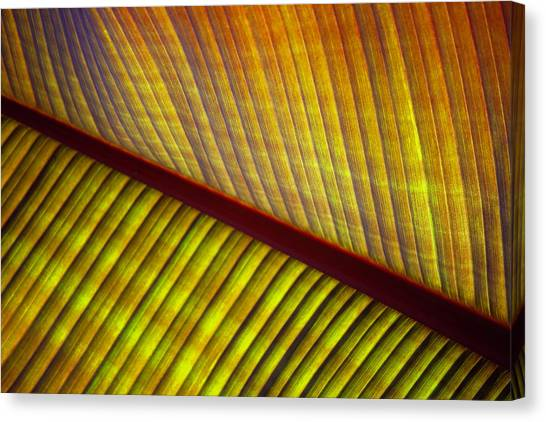 Banana Leaf 8602 Canvas Print