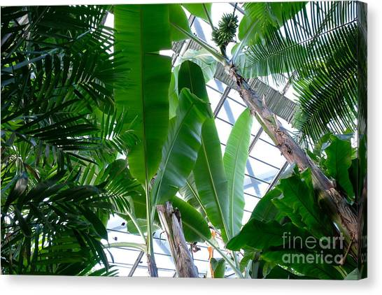 Banana Leaves In The Greenhouse Canvas Print