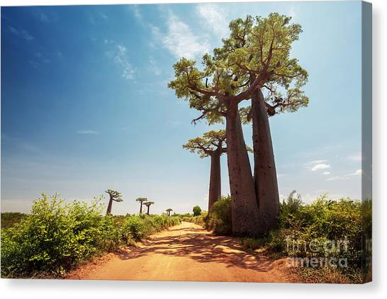Bush Canvas Print - Baobab Trees Along The Unpaved Red Road by Dudarev Mikhail