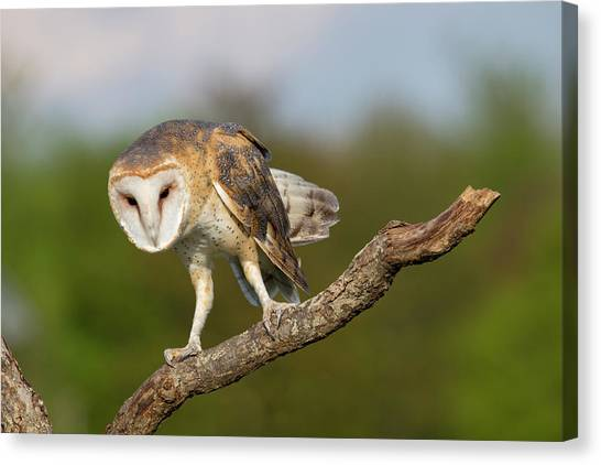 Barn Owl 5151801 Canvas Print