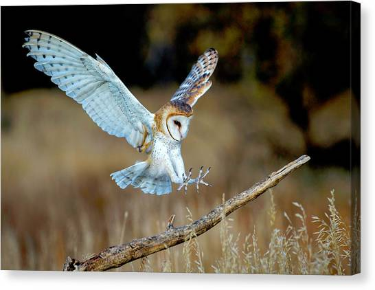 Barn Owl Landing Canvas Print
