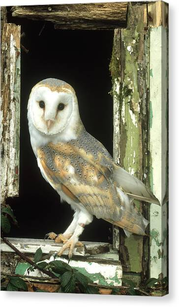 Barn Owl Tyto Alba Perched In Old Canvas Print