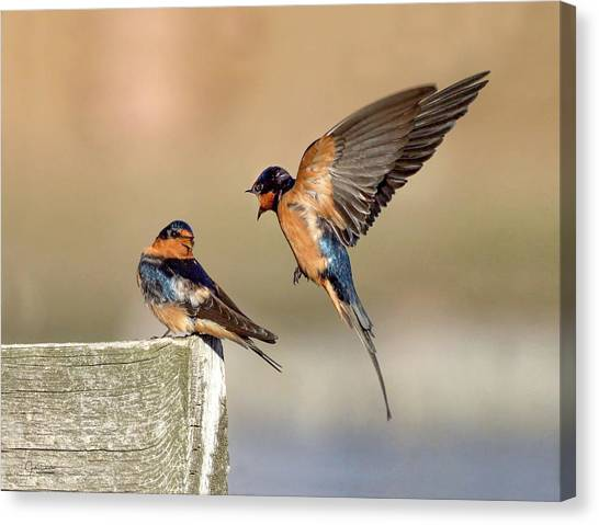 Barn Swallow Conversation Canvas Print