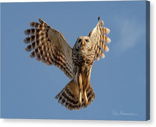 Barred Owl In Flight 0130 Canvas Print