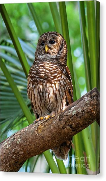 Barred Owl On Perch Canvas Print