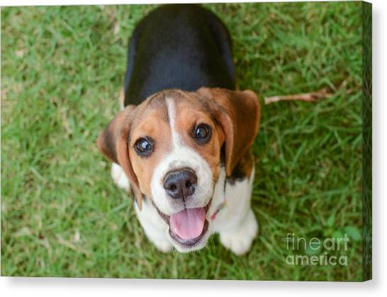 Beagle Puppy Sitting On Green Grass Canvas Print by Mr.es