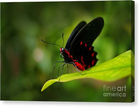 Yellow Butterfly Canvas Print - Beautiful Black And Red Poison by Ondrej Prosicky