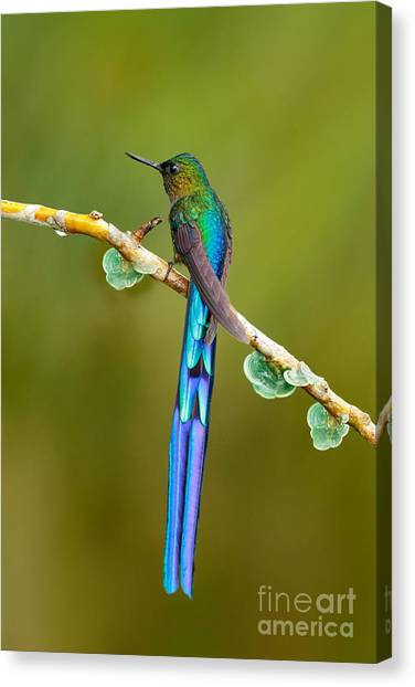 Behaviour Canvas Print - Beautiful Blue Glossy Hummingbird With by Ondrej Prosicky