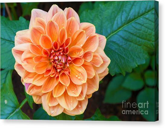 Dahlia Canvas Print - Beautiful Dahlia Flower And Water Drop by Luckypic