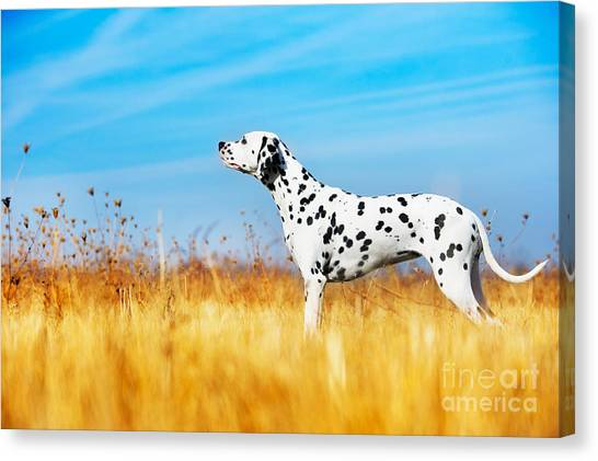 Purebred Canvas Print - Beautiful Dalmatian Dog In A Field by Tatiana Katsai