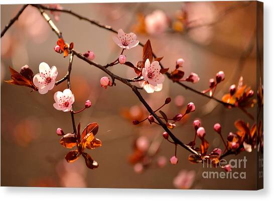 Japanese Gardens Canvas Print - Beautiful Flowering Japanese Cherry - by Montypeter