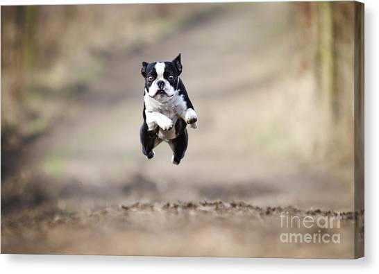 Happiness Canvas Print - Beautiful Fun Young Boston Terrier Dog by Best Dog Photo