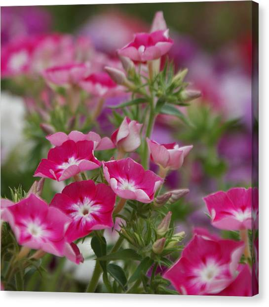 Canberra Canvas Print - Beautiful Pink Petunias by R J Mcdiarmid