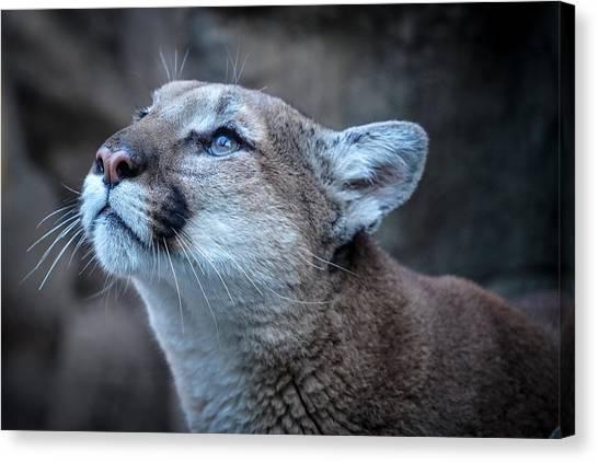 Beautiful Puma Canvas Print