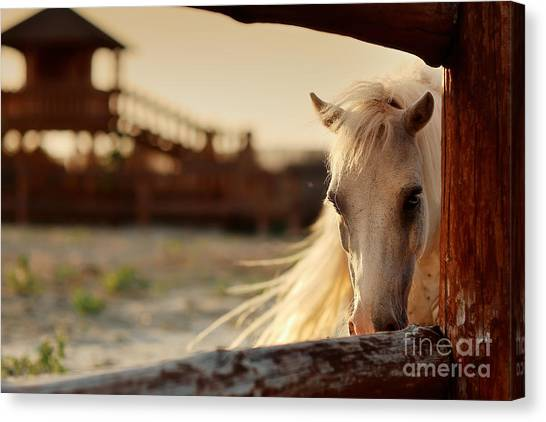 Purebred Canvas Print - Beautiful, Quiet, White Horse Waits In by Alekuwka