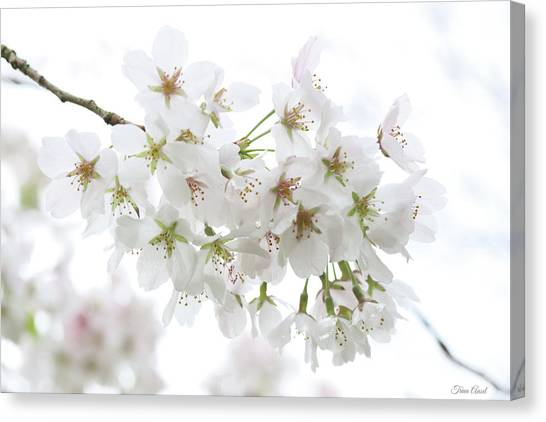Beautiful White Cherry Blossoms Canvas Print