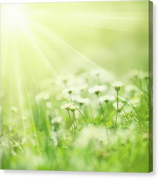 Blade Of Grass Canvas Print - Beautiful White Daisies Illuminated By by Jeja