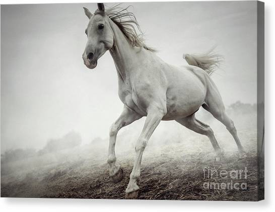 Canvas Print featuring the photograph Beautiful White Horse Running In Mist by Dimitar Hristov