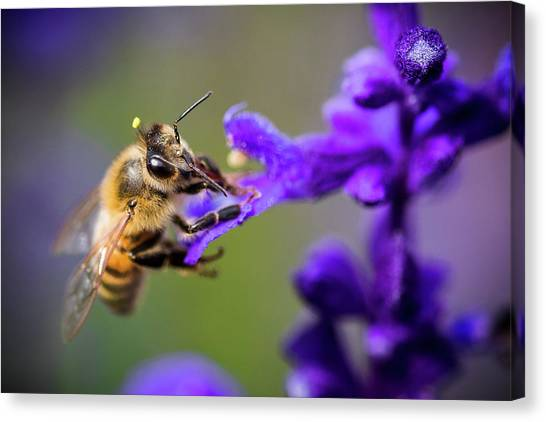 Bee On A Purple Flower Canvas Print