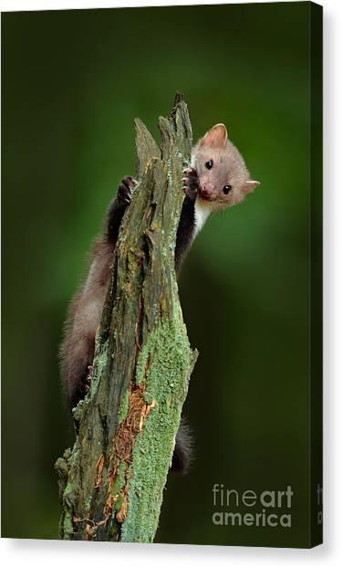 No-one Canvas Print - Beech Marten, Martes Foina, With Clear by Ondrej Prosicky
