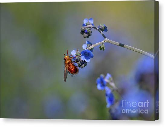 Pollinator Canvas Print - Beelike Tachanid Fly by Jeremy Dufault