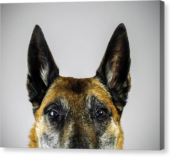 Belgian Sheperd Malinois Dog Looking At Canvas Print by Joan Vicent Cantó Roig