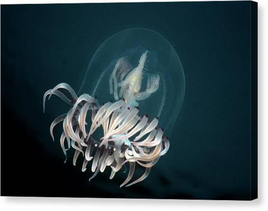 Bell Medusa Polyorchis Penicillatus Canvas Print by Jeff Rotman