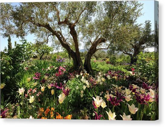 Beneath The Olive Tree, Marnes, Spain Canvas Print by Josie Elias