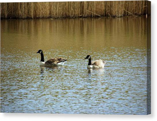 Bidston.  Bidston Moss Wildlife Reserve. Two Geese. Canvas Print