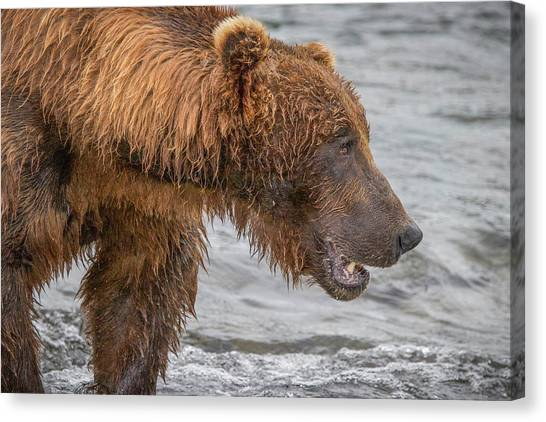 Snorkling Canvas Print - Big Brown Bear Fishing by Lisa Bell