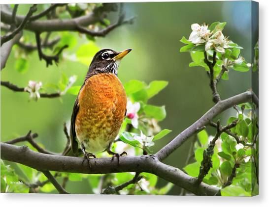 Birds - American Robin - Nature's Alarm Clock Canvas Print