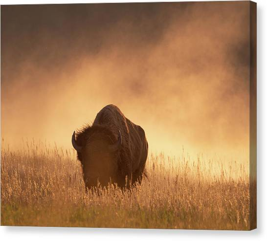 Bison In The Dust 2 Canvas Print